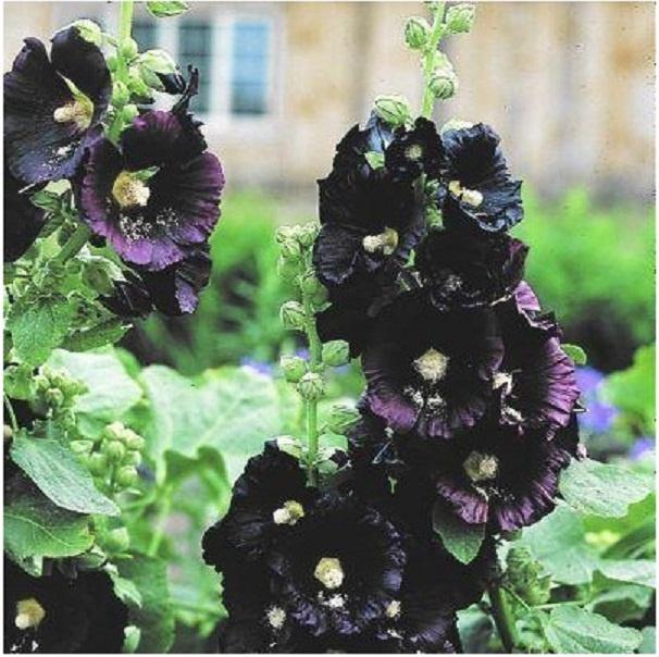 Tall Hollyhock Black Flower Alcea Rosea Nigra: ROSE TREMIERE NOIRE (Alcea Rosea Nigra)