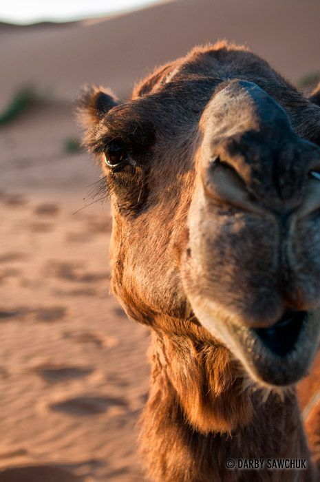 A close up of the face of a camel in the Saraha desert.Morocco