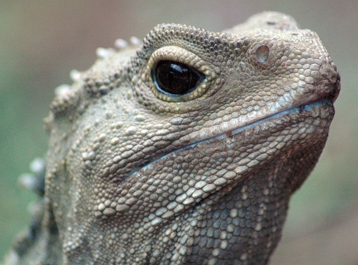 56 best Tuatara Reference Photos images on Pinterest Lizards