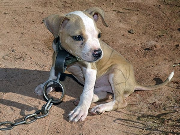 best end dog fights images pit bull doggies and  dog fighting raid s littlest victim here is a good story for a change this