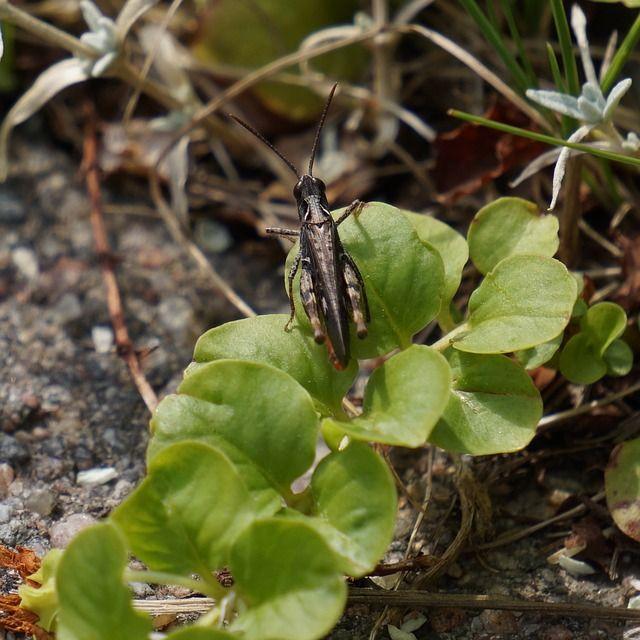 Pieni ruskea heinäsirkka lämmittelemässä kasvin lehdellä.