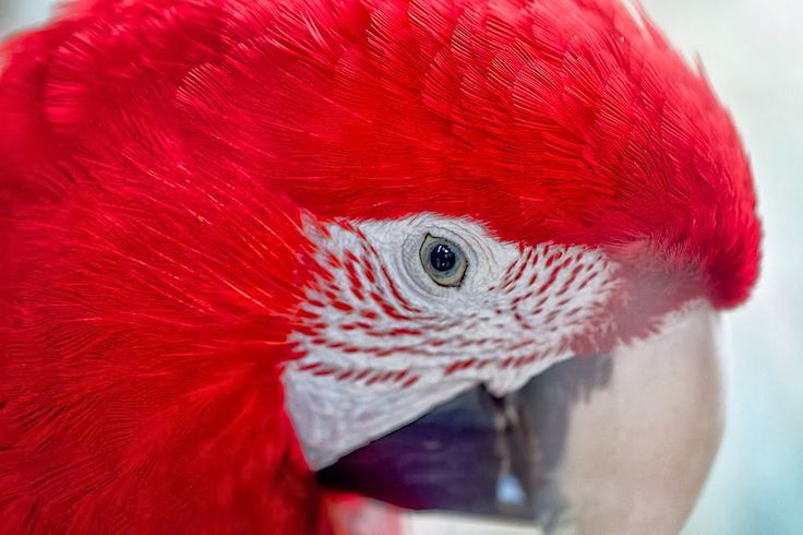 Pepe Le Gambá - Google+ - Macaw close up by billcoo