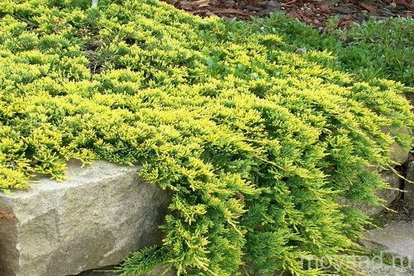 Juniperus horizontalis Golden Carpet - Поиск в Google