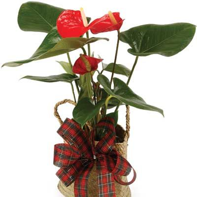 send an indoor flowering plants as a gift that goes on giving year after year flowering or non flowering plants make great gifts and we can deliver them