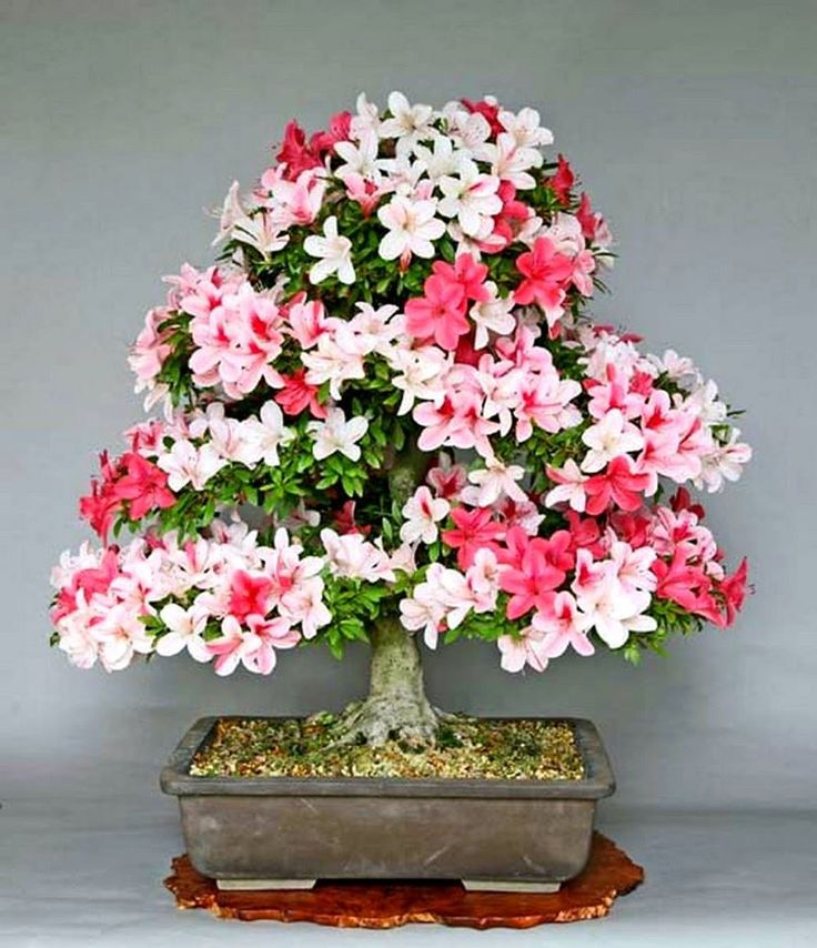 Flowering Bonsai - Azalea
