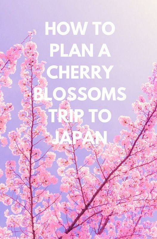 Japan's cherry blossoms put on a spectacular show every spring with visitors coming from far and wide to view the incredible sight. Click through to post for tips on planning a trip!