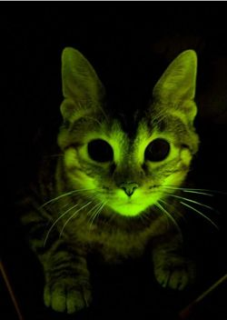 so, this is happening somewhere in the world....http://blogs.scientificamerican.com/observations/2011/09/12/jellyfish-genes-make-glow-in-the-dark-cats/