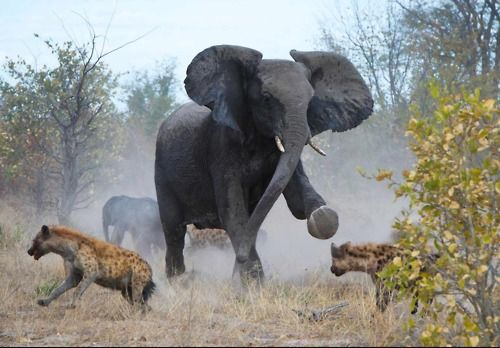 Mama elephant chases off a pack of Hyenas out for her calfTravel Planners, Animal Pictures, Mother Elephant, Africa, Protective Elephant, Mothers Fight, Elephant Mothers, Hyena, Calves