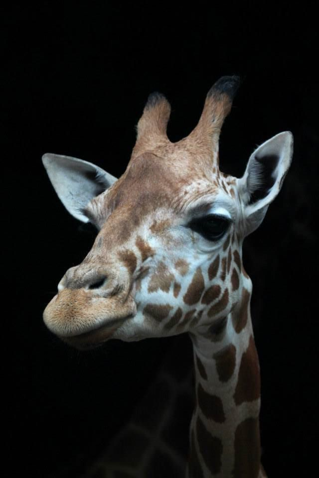 Пушкина, картинки прикольных жираф на аву