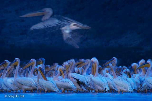 BBC Wildlife Photographer of the Year 2014 - Adult Awards, Birds - Finalist: 'Night of the pelicans' by Greg du Toit.