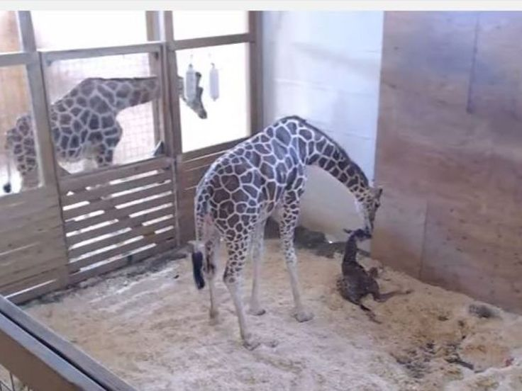 Millions watch as April the giraffe gives birth