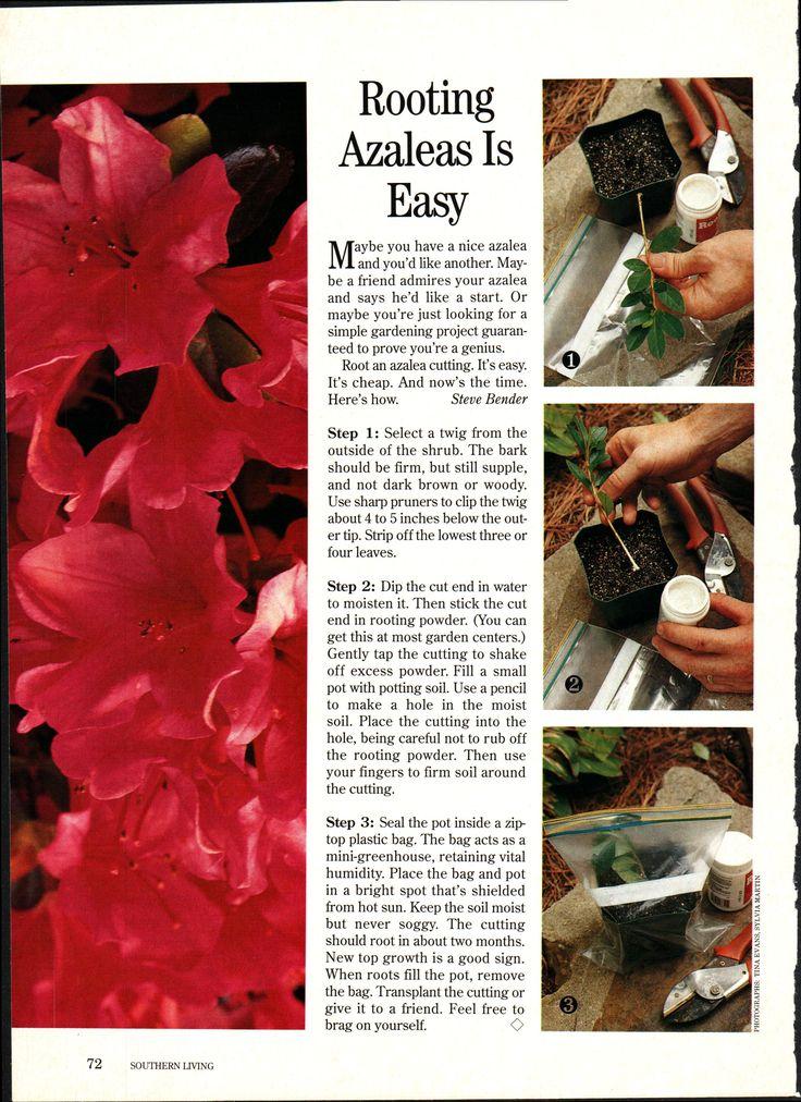 azalea plant care instructions