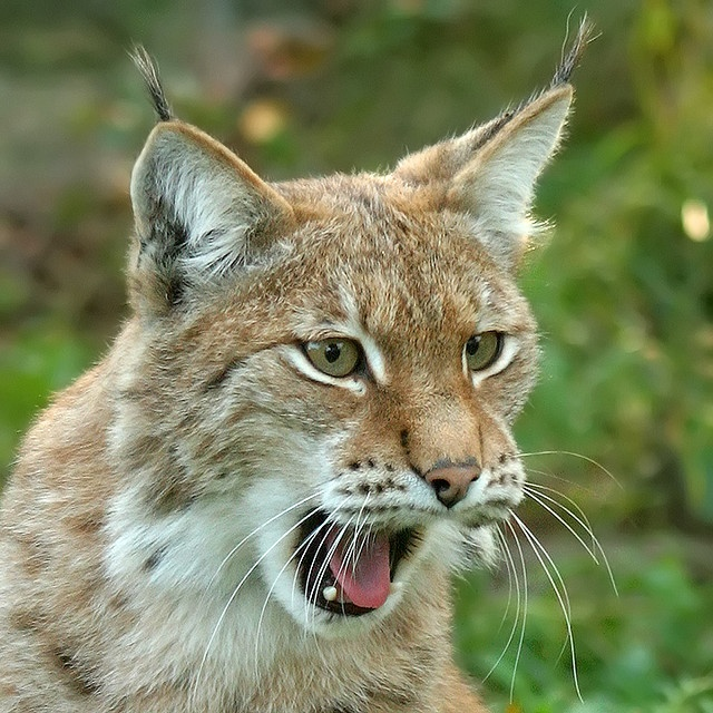 Ilves - Lynx One of beast of preys in Finland