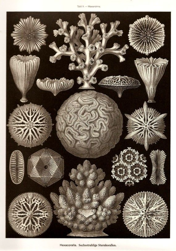 Ernst Haeckel Print SEASTAR CORALS 2010 by NaturalistCollection, $6.00- PURCHASED