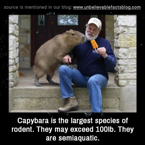 Capybara is the largest species of rodent. They may exceed 100lb. They are semiaquatic.