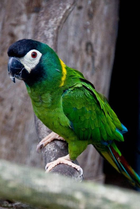 Yellow collared macaw. This is a mini macaw.