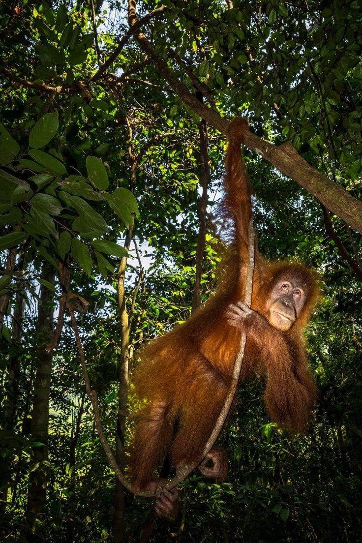 Female orangutan - Female orangutan, Gunung Leuser National Park, Sumatra, Indonesia
