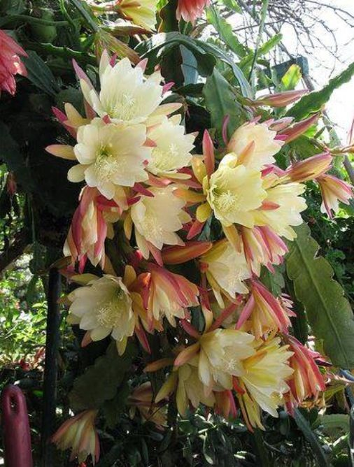 Night Blooming Cereus. I loved these in Florida.