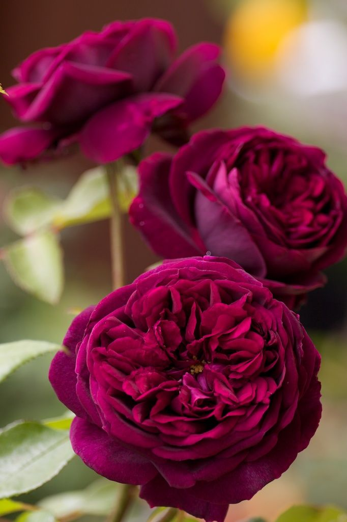'The Prince' |  Shrub.  English Rose Collection. Bred by David C. H. Austin (United Kingdom, 1990) | © robertmealing