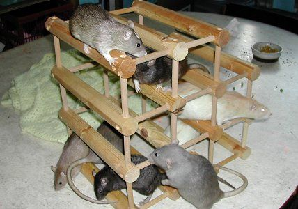 Rat gym made from old wine rack.  Plus other ideas.