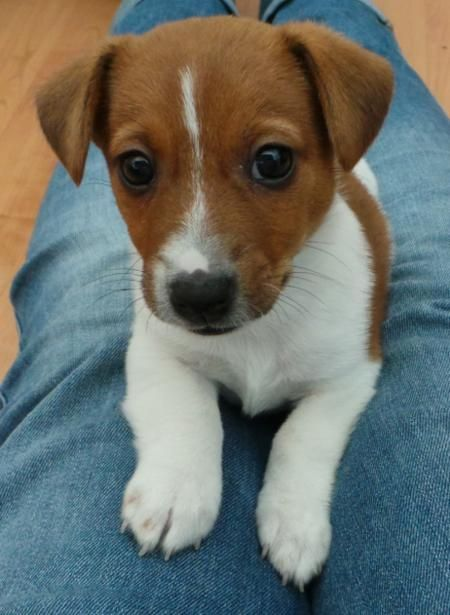 Hunter the Irish Jack Russell-Can't get any cuter than this!!!