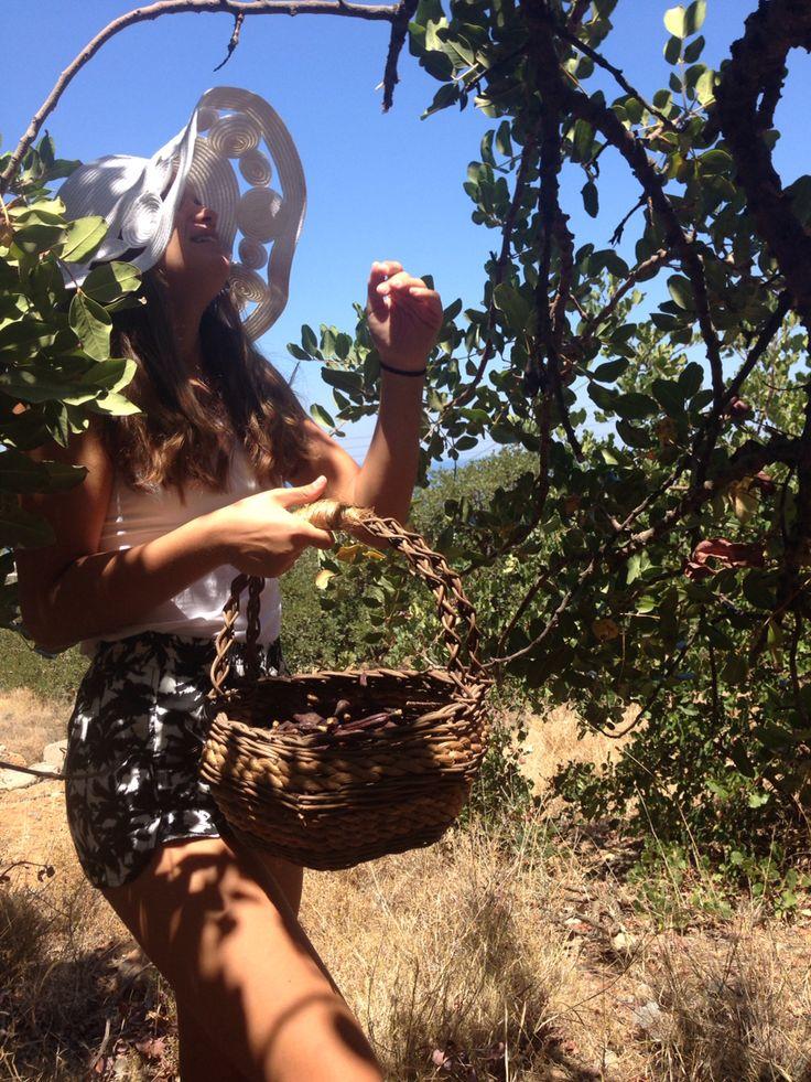 Carob : 2016 Harvest in Crete