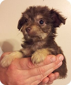 SOUTHINGTON, CT - Poodle (Miniature)/Chihuahua Mix. Meet Daisy Mae, a puppy for adoption. http://www.adoptapet.com/pet/13576757-southington-connecticut-poodle-miniature-mix