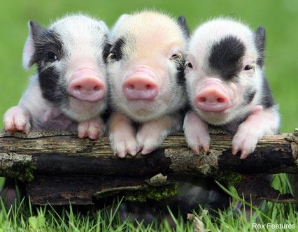 Teacup piglets > mini pigs are so cute!