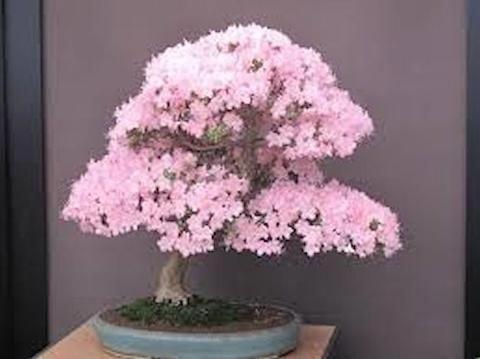 Pink Sakura Bonsai Seeds Bonzaitreeseeds Indoorbonsaitrees Bonsai Tree Bonsai Seeds Cherry Blossom Flowers