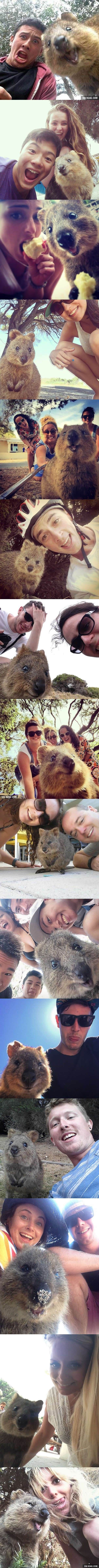 Quokka Selfie Is Cutest Trend In Australia Right Now! So cute you can't stand It! Enjoy RushWorld boards, AWE FACTOR, UNPREDICTABLE WOMEN HAUTE COUTURE and MOOD BUSTERS. See you at RushWorld on Pinterest!