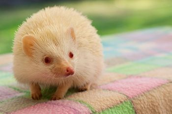 Available | West Coast Hedgehogs | Baby hedgehogs for sale