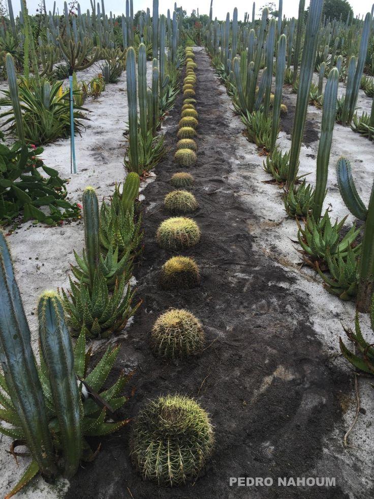 Cactus agriculture Quissama farm BOTANICA POP 2016