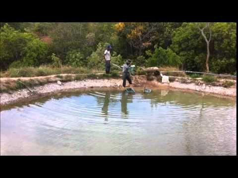 Limpeza e calagem de tanque de peixe tilápia na nossa fazenda