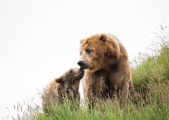 Brown Bears postcard