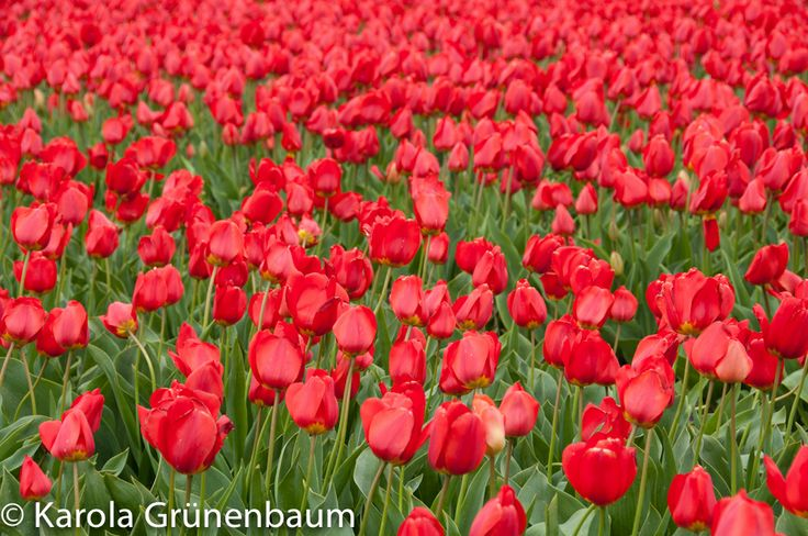 Lisse, Netherlands, Springtime 2014, Field of Tulips, National Pride of the Dutch, ©KarolaGrunenbaum