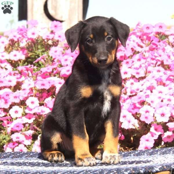 Meet Peaches, a gorgeous Doberman Mix puppy who loves to be around people. This sweet pup is vet checked, up to date on shots and wormer, plus comes with a health guarantee provided by the breeder. Peaches is family raised with children, and the mother is the breeder's family pet. To find out more about this joyful pup, please contact Elmer today!