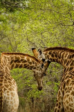 Giraffe Heart, Kuname, Karongwe