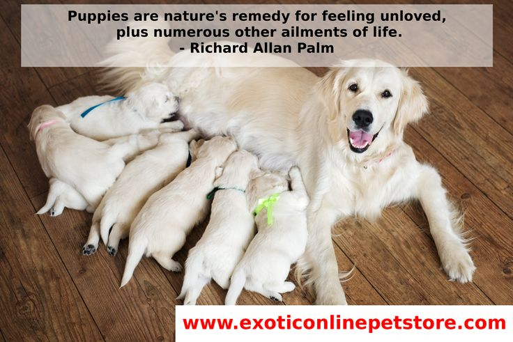 """Puppies are nature's remedy for feeling unloved, plus numerous other ailments of life.""  -Richard Allan Palm #RichardAllanPalm #Loved #Life #puppies #goldenretriever http://www.exoticonlinepetstore.com/"