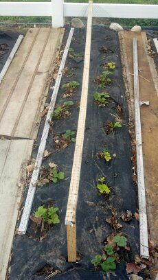 Fabuless Secrets To A Successful Strawberry Patch {Part 1}