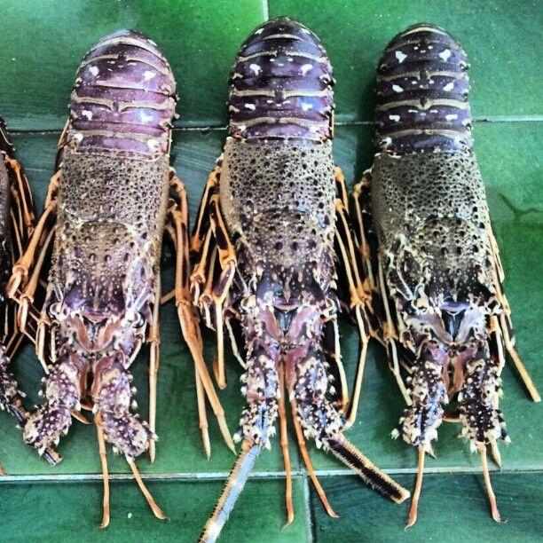 Photo by menorca_blue ©  Langosta de Menorca  Menorcan Lobsters
