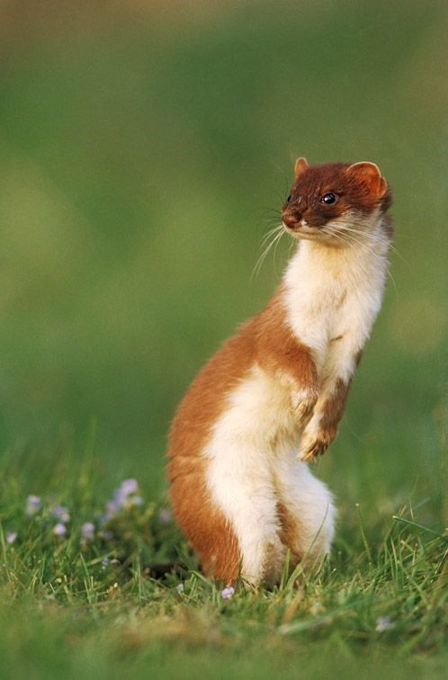 Get Stoked For These Insanely Lovely 14 Stoats!