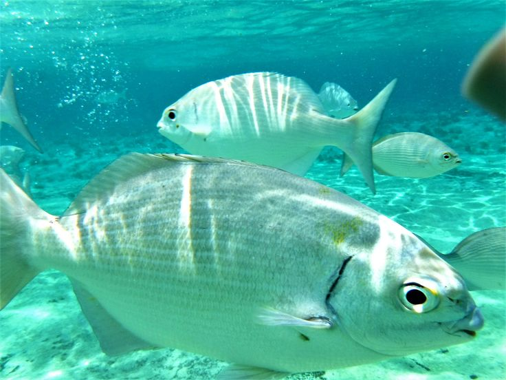 https://flic.kr/p/USRG2F | Looking to be fed | Fish gather to be fed and come very close at this snorkeling spot. [The Money Bar Beach Club, Zona Hotelera Sur,  San Miguel de Cozumel, Quintana Roo, Mexico]