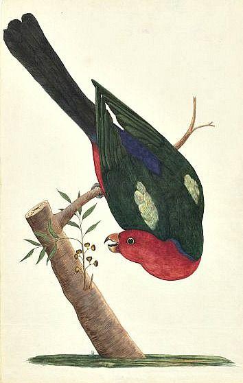 George Raper  King Parrot  1788