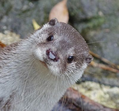 Hi Human! Hey, What's That Thing? More at today's Daily Otter post! Thanks, teakura! [Zoorasia/Yokohama Zoological Gardens, Japan]