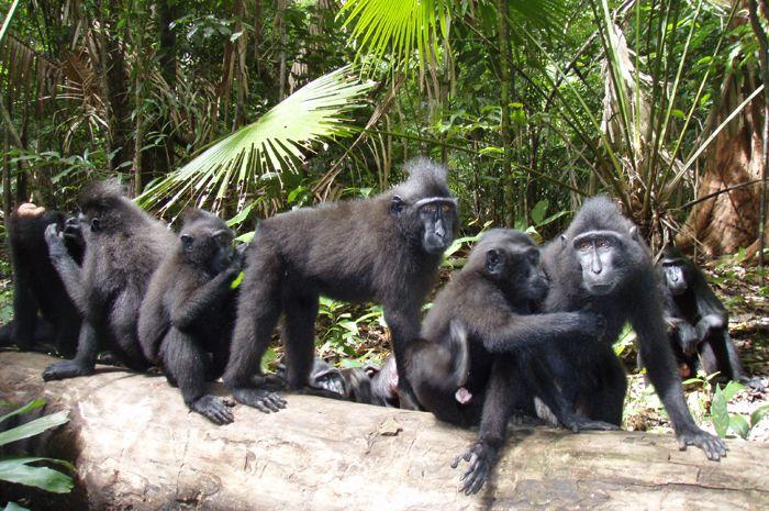 Black Macaque Nigra at Tangkoko Nature Reserve