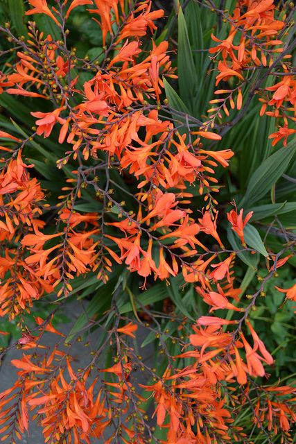 Crocosmia 'Orange River' by Avondale Nursery, via Flickr