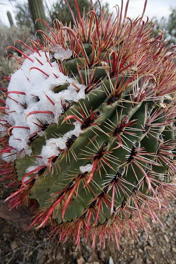 Succulents cactus a collection of ideas to try about for Fish hook barrel cactus