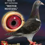 """053 - B17-6256166 """"MISTER MUSTANG"""" ♂   De Duif"""