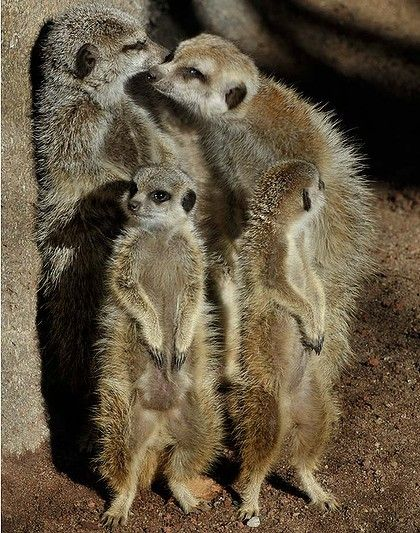 Already one of Melbourne Zoo's top attractions, the resident meerkat family has recently increased - in both bodies and cuteness factor - by five.
