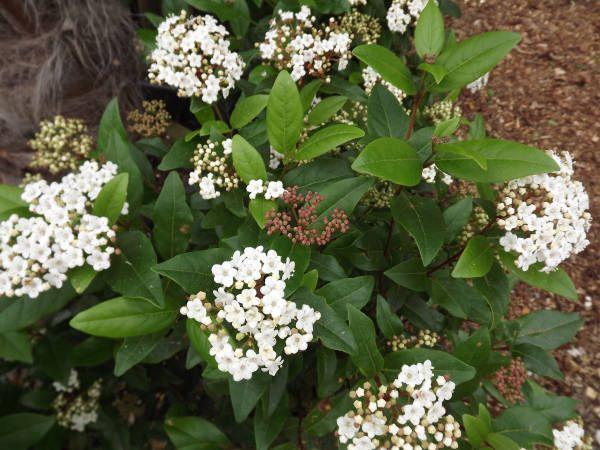 Viburnum Tinus Laurustinus Family Adoxaceae